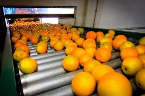 TALL Cali Oranges