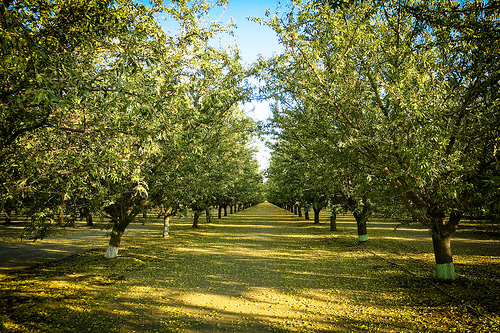 TALL Cali Orchard