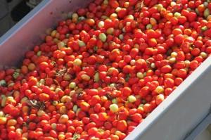 TALL Cali Tomato