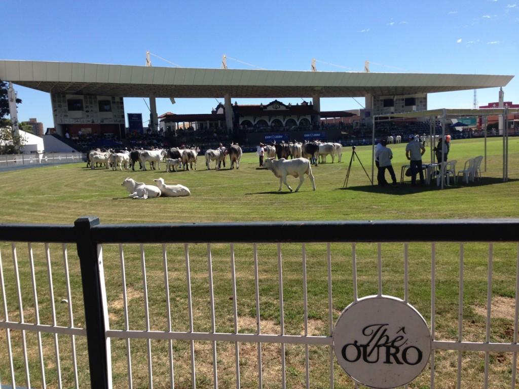 Brazilian cattle show ExpoZebu.