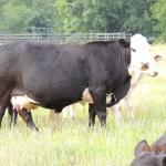 Cow #333