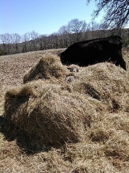 Calf hidden in hay