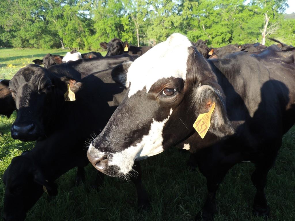 Happy Texas Cow