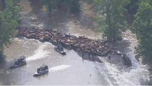 cattle-in-floods
