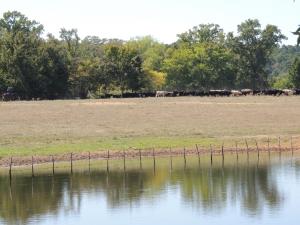 cowboys drive cattle