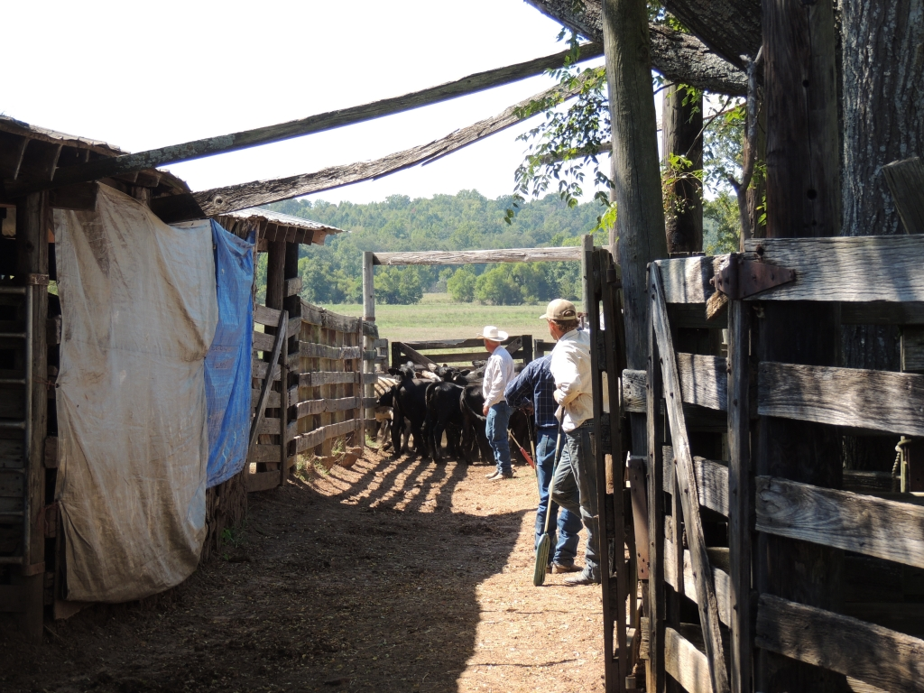 sorted cattle in pins