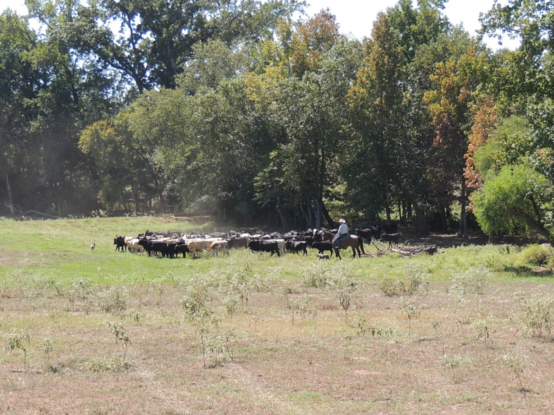 Cattle Drive - The -Live- Stock Market