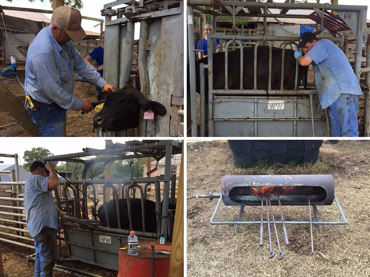 4 pics in 1 - branding, tagging and testing cattle
