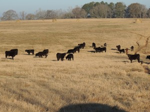 cows-in-pasture